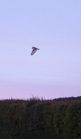 The Barn Owl - Fly Past