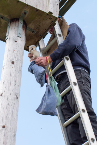 'Bagging' the owlets ready for weighing