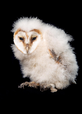 Middle Owlet