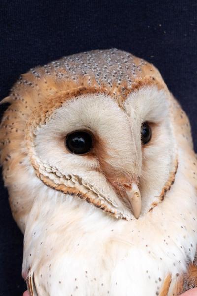 Mrs Barn Owl July 2nd 2019