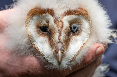 Owlet large (image - Tommy Hatwell)