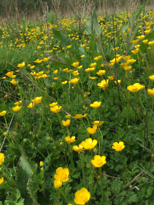 More buttercups