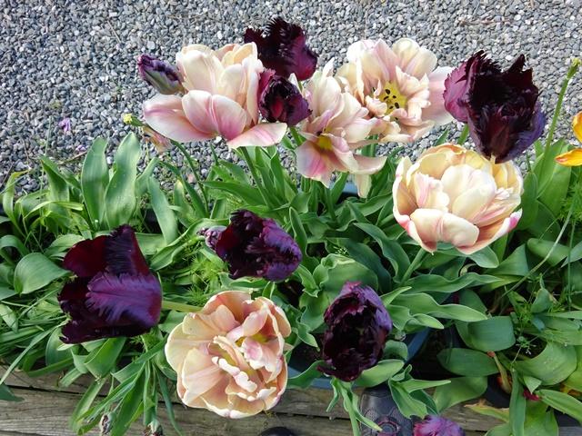 Tulips - Belle Epoque & Black Parrot