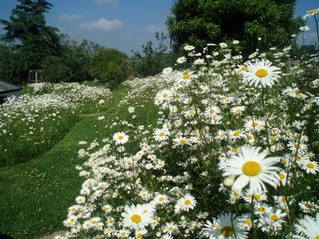 Lfg_daisies