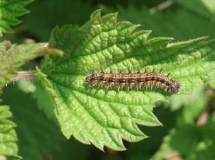 Macro_caterpillar