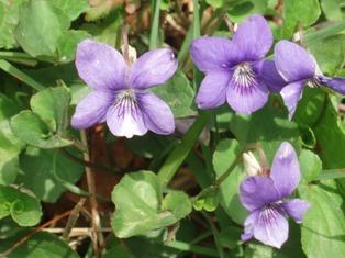 Lane_violets