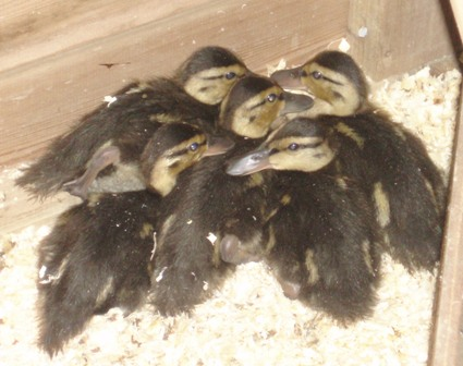 Ducklings_2