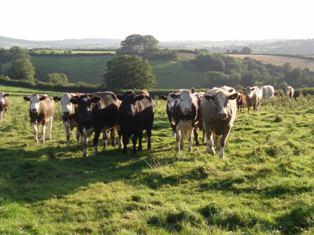 Cows_4_2