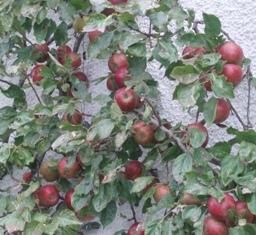 Apples_coxs