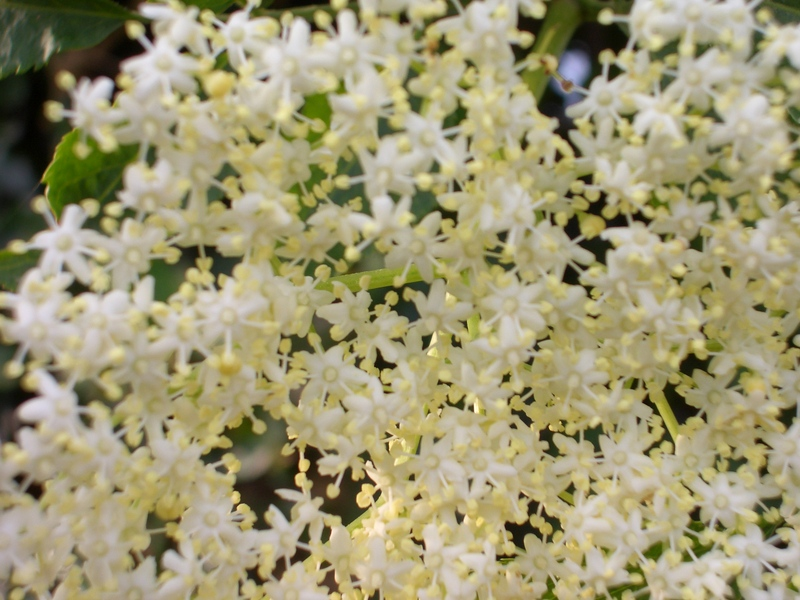 Elderflowers_005