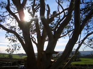 Eucalyptus_005